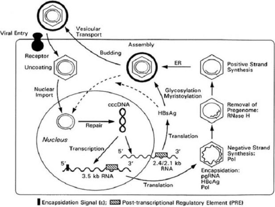 Figure 1 :Replication cycle of HBV