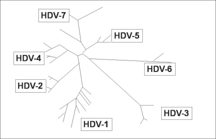 Figure 2 :Phylogenetic illustration of hepatitis delta virus genotypes